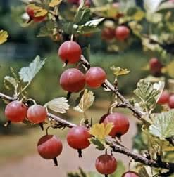 spiced gooseberry recipe