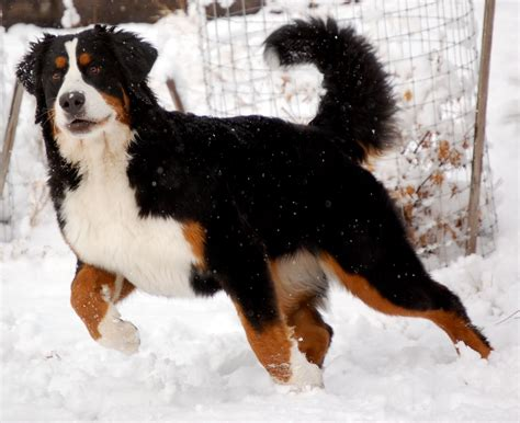 everything about your bernese mountain dog luv my dogs
