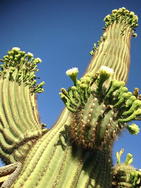 Saguaro Genome Shows Why Many Cactus Species Are Hard To ...