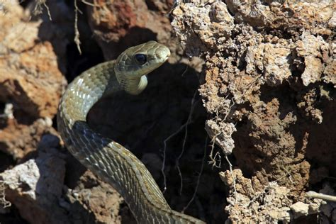 cryptosporidium serpentis  snakes texas  veterinary