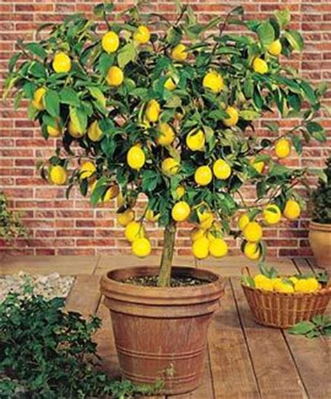 caring for lemon trees in pots meyer lemon tree for sale the tree center