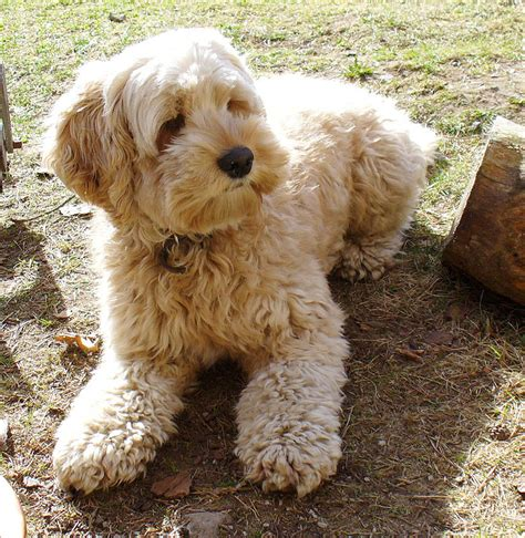 Do Cockapoo Mixes Shed by Cockapoo Cocker Spaniel Poodle Mix Dogable