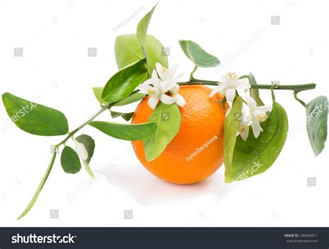 Orange Fruit Branch With Leaves Blossom Isolated