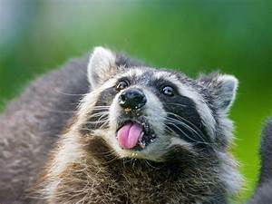 Raccoon Full HD Wallpaper and Background | 2048x1536 | ID ...