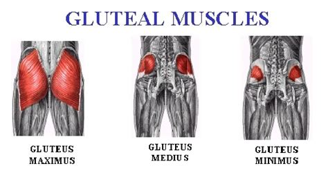 Leg And Glute Muscles • Bodybuilding Wizard