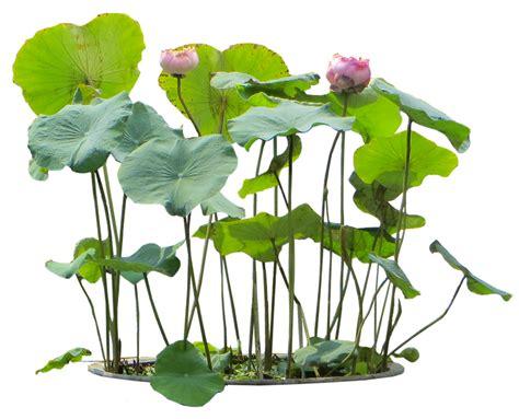 Tropical Plant Pictures Nelumbo Nucifera (sacred Lotus