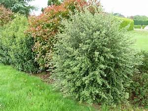 Arbuste Feuillage Persistant Croissance Rapide : arbustes d 39 ornement arbustes de grand d veloppement ~ Premium-room.com Idées de Décoration