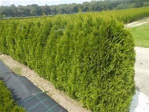Thuja Hecke Abstand : smaragd 35 40 cm 25 st ck thuja lebensbaum t9x9 h real ~ A.2002-acura-tl-radio.info Haus und Dekorationen