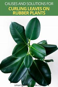 Why Are My Rubber Plant Leaves Curling   And How To Fix It