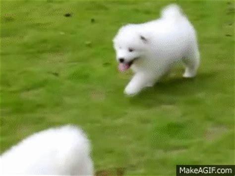 samoyed puppies    gif
