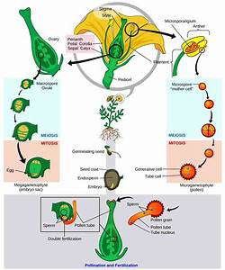 Embryo In Flowering Plants  Structure  Types And Development