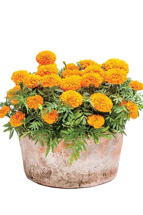 Sunny Marigolds - Best Ideas for Fall Container Gardening