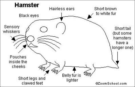 Guinea Pig Diagram Label by Hamster Printout Enchantedlearning