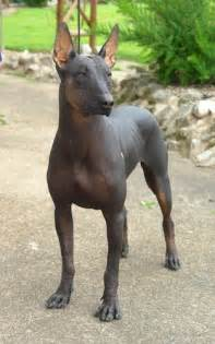 Mexican Hairless Dog with Hair