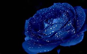 Blue Roses HD Wallpapers Free Download