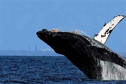 Whale Humpback Island Vancouver Watching Val Nanaimo