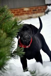 1000+ ideas about Black Labrador Retriever on Pinterest ...