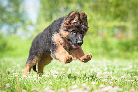 German Shepherd Training Beginner's Guide - The Dog ...