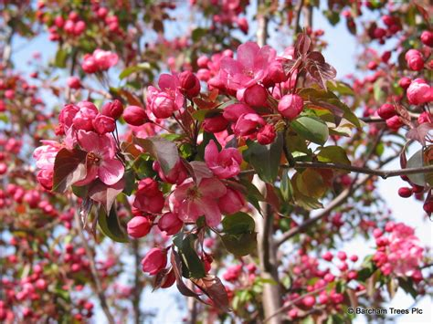 flowering trees pink blossoms ellen s top 5 trees barcham trees