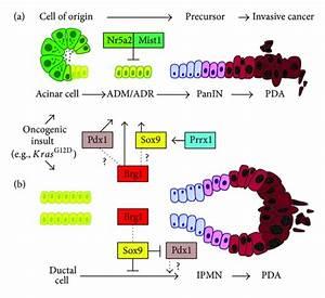 A Model For Developmental Factors Regulating Acinar And