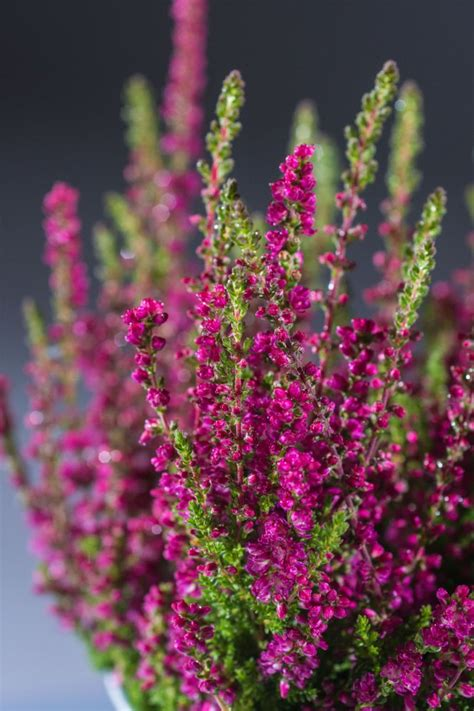besenheide dark beauty calluna vulgaris dark beauty