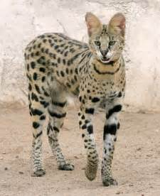savanna cat just a lovin spoonful the cat
