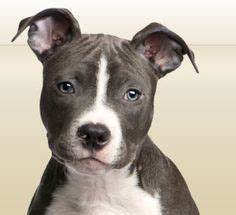 Pensive Staffy! #staffie #dogs | {GROUP} Staffies - Best ...
