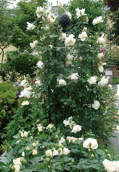 high quality rose obelisk buy  classic garden elements uk