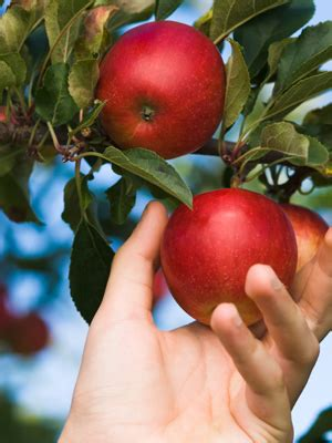where to go for apple picking prairie sky orchard is now closed for the 2017 season prairie sky apple orchard a beautiful