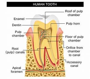 Information About The Human Tooth Anatomy With Labeled