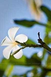 Download White Plumeria Flower IPhone Wallpaper Mobile ...