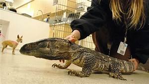 Monitor Lizard in Black-Throated Monitor Lizard Found in a ...