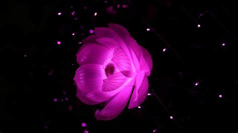 wallpaper pink lotus light flower dark hd  creative