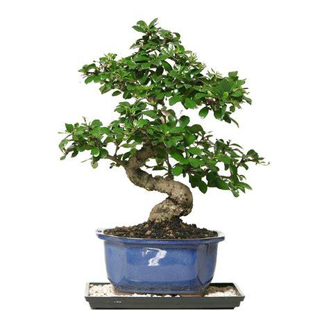 bonsai fukien tea bonsai indoor garden flower tree plant
