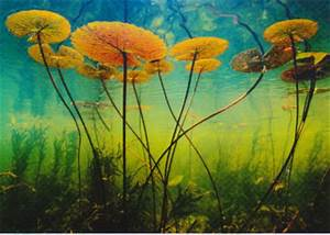 Lotus plants viewed from underwater | Flickr - Photo Sharing!