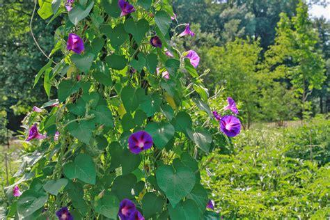 Kletterpflanzen Für Den Garten die 10 eifrigsten kletterpflanzen f 252 r den garten garten