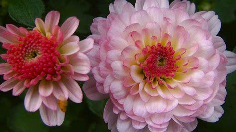 Garten Chrysantheme Kaufen by Chysantheme Chrysanthemum Im Pflanzenlexikon