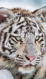 White Tiger – Wildlife Reference Photos for Artists