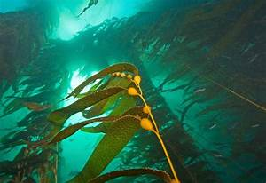 Plant  Animal Or Algae  Discovering The Mysteries Of California U2019s Kelp Forests