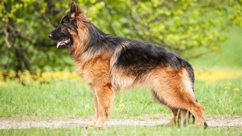 german shepherd shedding how bad is it barking royalty