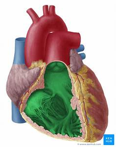 Ventricles Of The Heart