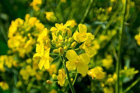 photo oilseed rape field  rapeseeds  image