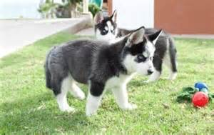 Black and White Siberian Husky Puppies