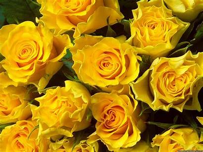 Yellow Roses Flowers Wallpapers Desktop Backgrounds Rose