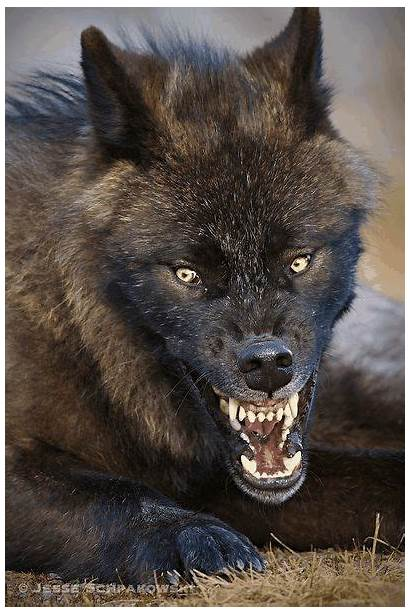 Wolves Wild Animals Wolf Angry Scary Animal