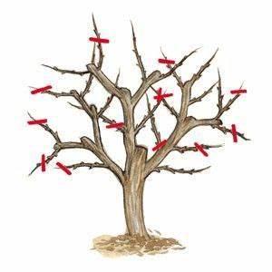 Taille De L Abricotier : quand et comment tailler l 39 abricotier conseils en images maison abricotier jardins et ~ Dode.kayakingforconservation.com Idées de Décoration