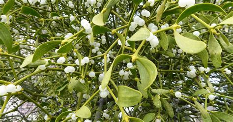 can you help find cambridge s mistletoe cambridge news