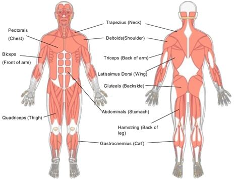 Male Muscle Chart Diagram