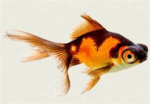 Orange Telescope Goldfish | www.pixshark.com - Images ...