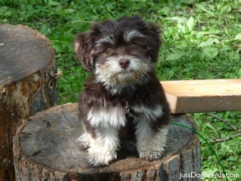 Do Bichon Havanese Shed by Havanese Puppies Breed Chocolate Chip Havanese